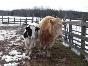 Two calves at Rikki's Refuge