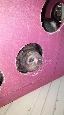 piglet nose